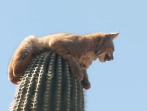 image of a bobcat on top of a cactus
