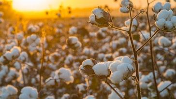 cotton field photoshoot
