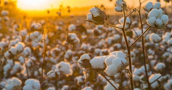 cotton field photoshoot